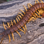 Raw Centipedes: Beware If You Are Eating Them! - Veterans Today | News