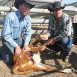 Ranchers Face Wolves at the Gate