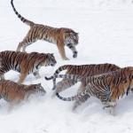 China postpones on allowing tiger bone, rhino horn trading