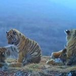 Four Siberian tiger cubs seen on video playing in Russia's hilltops