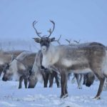 Reindeer Cyclones | Veterans Today