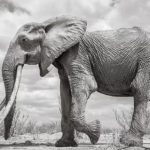 Awesome Elephant Queen, R.I.P. | Veterans Today