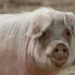 Consumers Expect a Meat Price Hike Due to China's Swine Fever