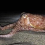 Octopuses may go blind from climate change, study warns